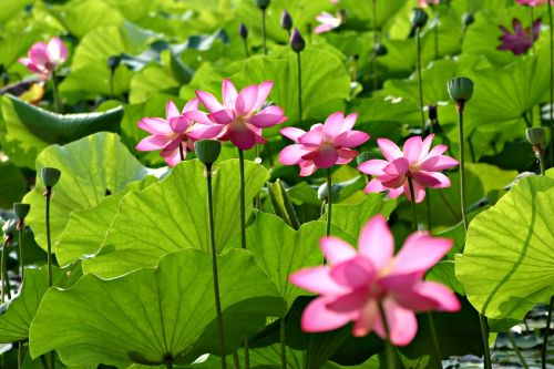 pond_pink_lity_lotus